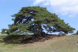 Róbolo/Balkan Pine
