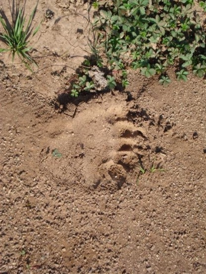 Bear print at Paliomonástiro